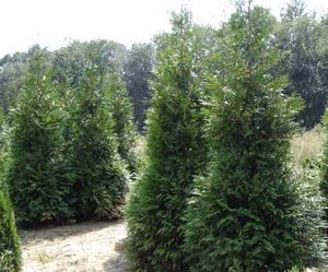 Arborvitae Green Giant   7c p